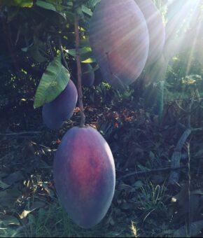 Mango (desde Agosto a Noviembre)