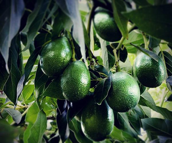 http://www.frutorganic.com/wp-content/uploads/2017/10/Slider-Aguacates2-600x500-Frutorganic.jpg