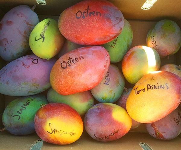 http://www.frutorganic.com/wp-content/uploads/2017/10/Slider-Mango-600x500-Frutorganic.jpg
